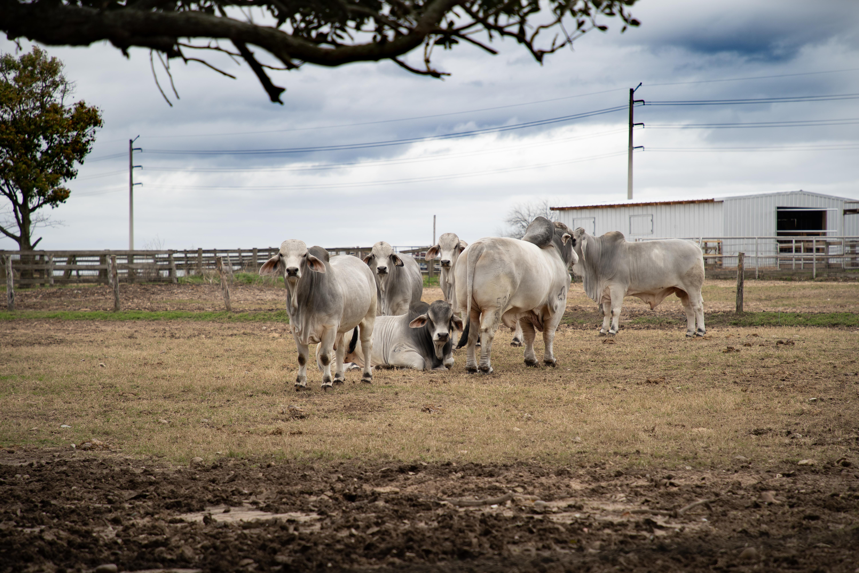 Brahman-Bulls